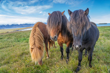 Funny Iceland Ponies With A St...