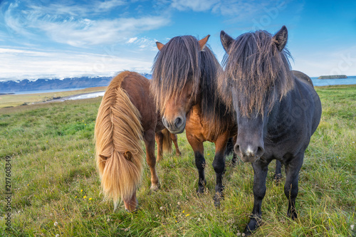 Obraz funny iceland ponies with a stylish haircut grazing on a pasture in northern Iceland - fototapety do salonu