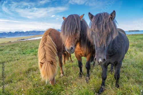 Obraz Kucyki islandzkie ze stylową fryzurą pasące się na pastwisku - fototapety do salonu