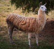 Laughable Llama