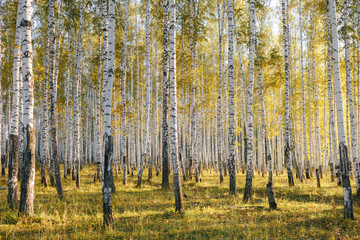Fototapeta Wschód / zachód słońca Birch tree grove in evening sunlight. Trunks with white bark. Nature forest landscape in early autumn. Ural, Russia