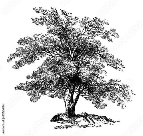 Olea Europaea (Olive Tree) - Vintage Engraving Illustration Canvas-taulu