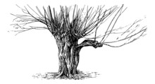Pollarded Willow Tree - Vintag...