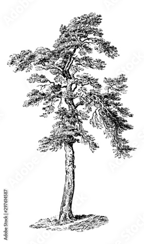 Scots Pine Tree - Vintage Engraving Illustration Tablou Canvas