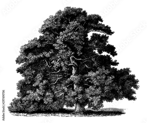 Obraz na plátně  Quercus Petraea (Sessile Oak) - Vintage Engraving Illustration