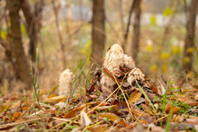 Coprinus Comatus In The Autumn Forest Sprouted Among Dry Yellow Leaves
