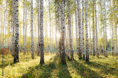 Birch tree grove in golden sunlight Fototapeta