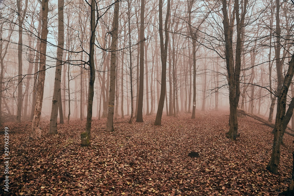 Fototapety, obrazy: Foggy forest in late autumn, path covered with fallen leaves