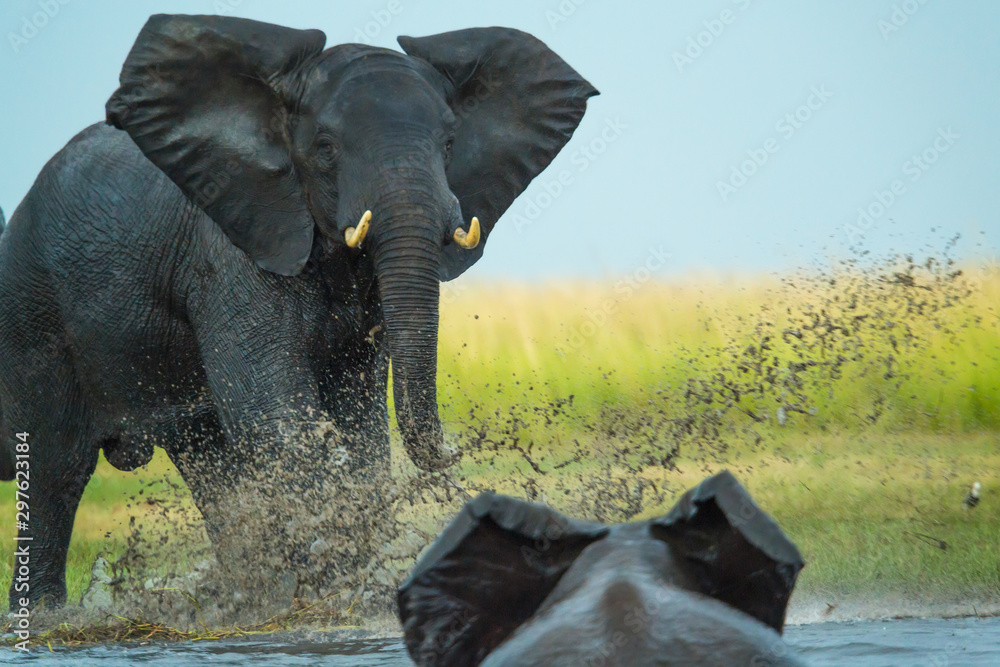 Obraz Elephant play charging other elephant, Chobe Nat Pk, Botswana fototapeta, plakat