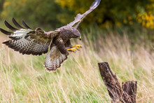 A Wild Buzzard Landing On A Tree Stump.The Buzzard Is A Bird Of Prey In The Hawk And Eagle Family.