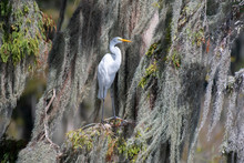 Great Egret In Spanish Moss
