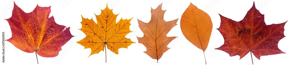 Fototapety, obrazy: Set of autumn leaves isolated on white background. High resolution.