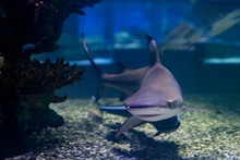Blacktip Reef Shark. Carcharhinus Melanopterus In Aquarium