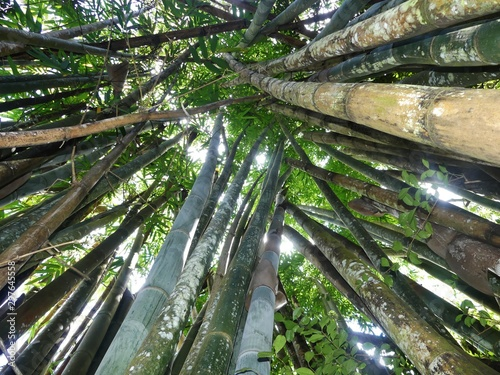 Fotografia giant bamboos in jungle