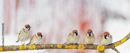 Photo  portrait five little funny birds sparrows sitting on a branch in the garden on a