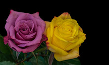 Violet Yellow Rose Blossom Pair Macro With Green Leaves On Black Background