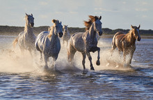 Wild White Horses Are Running ...