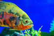 canvas print picture - Oscar fish, Astronotus ocellatus. Tropical freshwater fish in aquarium. tiger oscar, velvet cichlid.fish from the cichlid family in tropical South America, most popular cichlids in the aquarium hobby