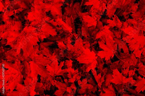 Montage in der Fensternische Rot kubanischen Bright red autumn leaves texture