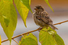 Young Sparrow Waits For The Change To Glide Down To Eat Leftover Grass Seeds.