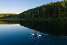 Couple White Mute Swans (Cygnu...