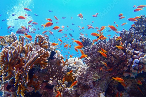 Tuinposter Koraalriffen Beautiful tropical coral reef with shoal or red coral fish Anthias