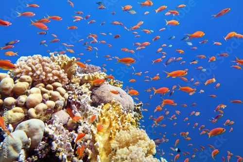 Obraz na płótnie Beautiful tropical coral reef with shoal or red coral fish Anthias