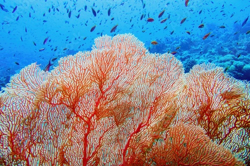 Fotomural Organic texture of Pink Sea Fan or Gorgonia coral (Annella mollis)