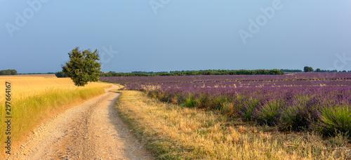 Fototapeta premium Lavender 40