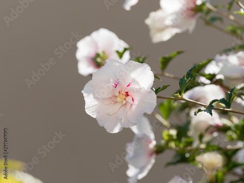 Hibiscus syriacus   Fleurs semi-double 'China chiffon' blanche avec des stries r Canvas-taulu