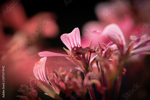 Wallpaper close up/ macro photography pink Geranium/ Hintergrund Nahaufnahme/ Makro Fotografie einer rosa Geranie - 297674942