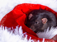 A Dark Gray Rat On A White Background In A Santa Claus Hat.