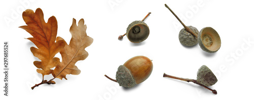 Oak dry leaves and acorns in different angles, set isolated on white Canvas Print