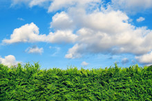 Hedge Of Evergreen Thuja Trees And Blue Sky With White Clouds Above. Some Branches Are Overgrown.