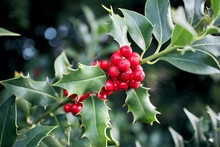 Green Holly Bush Leaves With A Cluster Of Vibrant Red Berries.