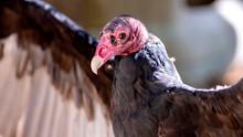 Close-up Portrait Of A Turkey Vulture