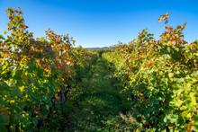 Vineyards Of Wine Area Of Georgia Kakheti, Telavi Wineyards, Caucasus.