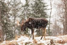 A Lone Male Moose In Winter