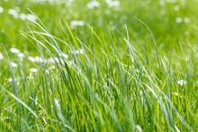 Close Up Meadow Long Green Gra...