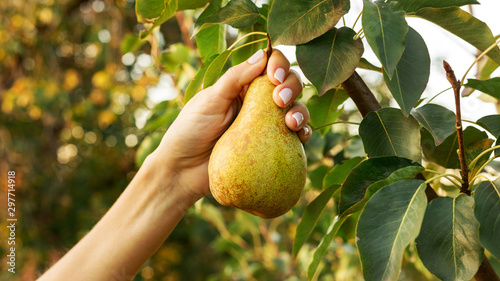 Female hand holds beautiful tasty ripe pear on branch of pear tree in orchard for food or juice, harvesting. Autumn harvest in the garden outside. Village, rustic style. Eco, farm products. - 297714918