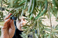Muslim Woman Harvesting Olives From Olive Tree