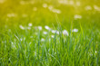 bright long green grass in nature light blurred bokeh background