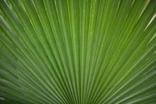Large Palm Leaf Background Wal...