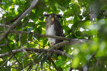 Adult Barred Eagle-owl Or Malay Eagle-owl (Bubo Sumatranus), High Angle View, Front Shot, Resting On The High Branch In Dense Shade Of Tropical Moist Lowland Forest, Southern Of Thailand.