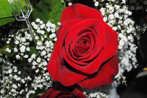 Close up, downward shot of a red rose, with Baby's breath flower