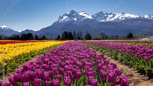 Spoed Foto op Canvas Tulp Campo de tulipanes en Trevelin, Chubut, Argentina.