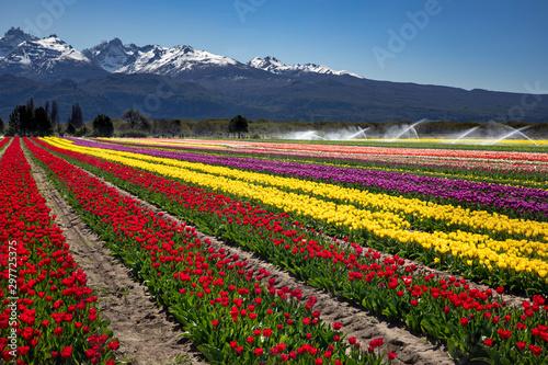 Campo de tulipanes en Trevelin, Chubut, Argentina.