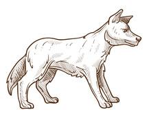 Wild Dog, Dingo Breed Isolated...