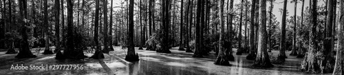 Fototapeta  Black and white panoramic photo of bald cypress swamp