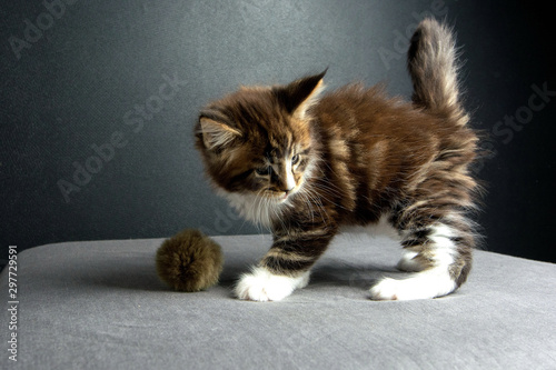 Fotografía  kitten was wonderful Maine Coon in the photo Studio